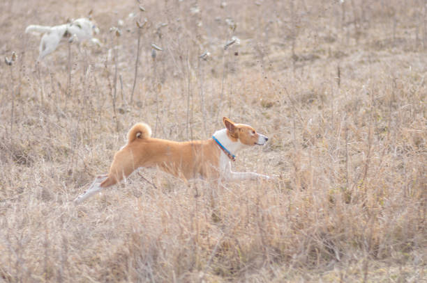How to train Nigerian local dogs