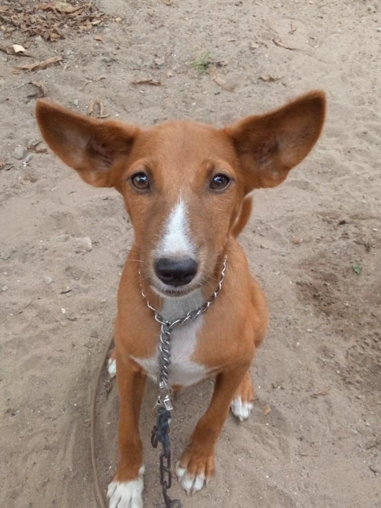 Nigerian Dog Breed: 3 undisputable features Of the Majestic Rarehunters