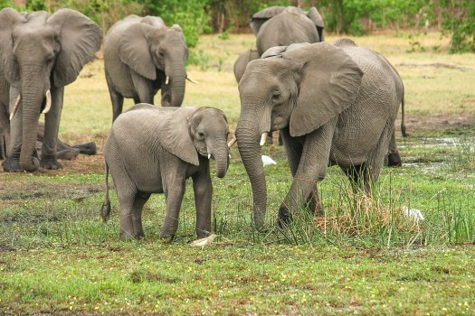 The elephant herd protects it's young. Mama Elephant stands by her kin