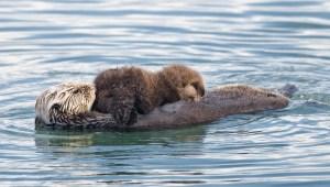 Otter  10-16