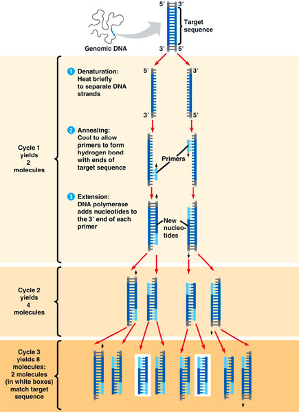 PCR basics diagram
