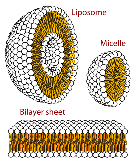 Lipid micelles and bilayers