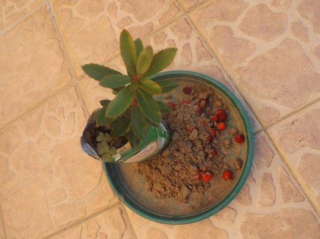 Medronheiro plantado num pacote de leite.