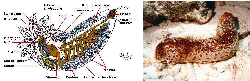 mollusca diagram labeled how to install 2 way light switch sea cucumber - evolution of the respiratory system