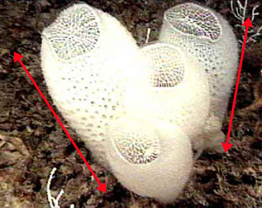 Venus Flower Basket Sponge Euplectella Aspergillum