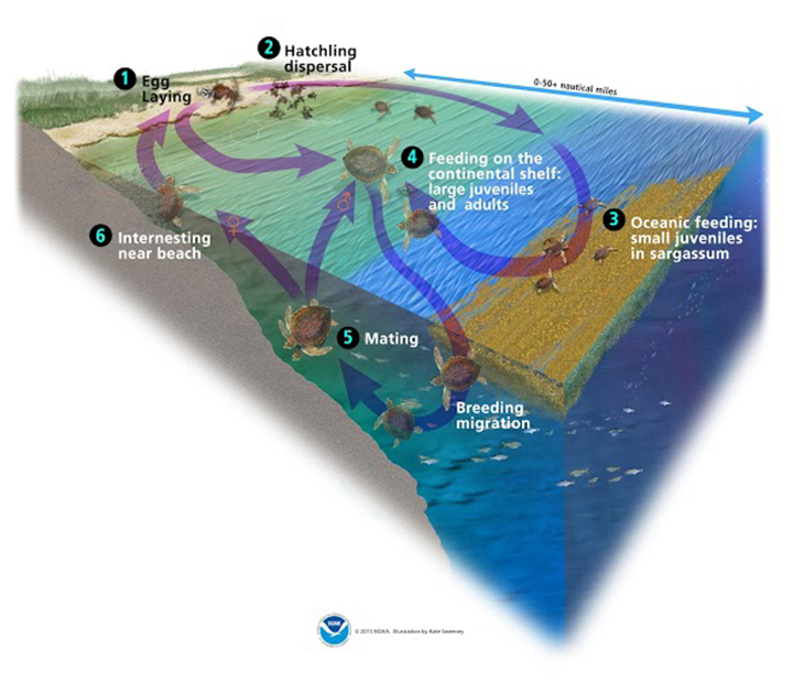 leatherback sea turtle food web diagram single phase motor capacitor start run wiring how do oil spills affect turtles response restoration noaa gov the life cycle of a spans multiple habitats across ocean from sandy beaches to open