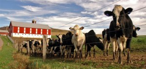 cows-outside-slaughter-house-farm