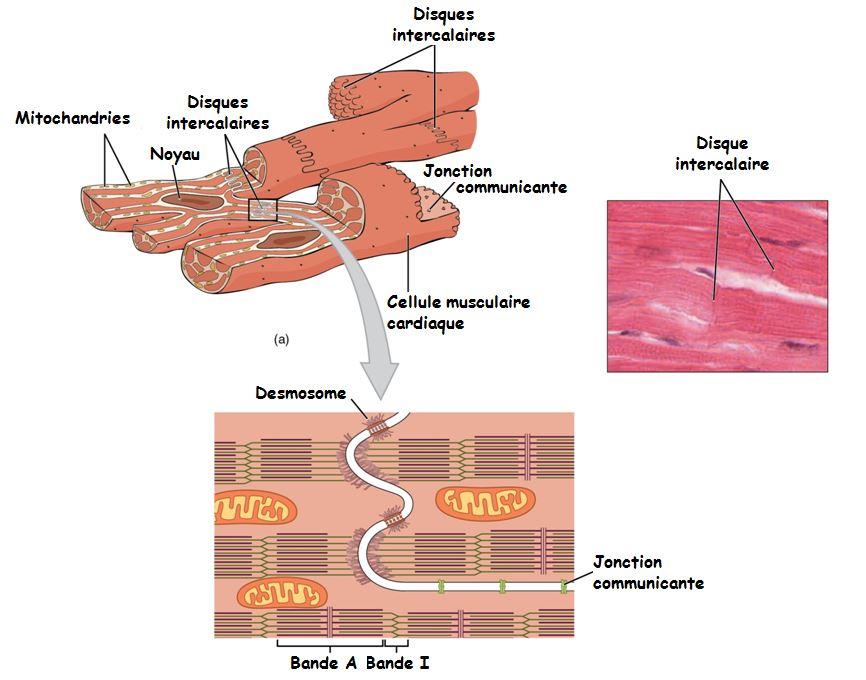 Le tissu musculaire Proprits essentielles des myocytes