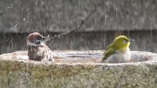 延々とメジロとスズメが水浴びする動画が可愛い