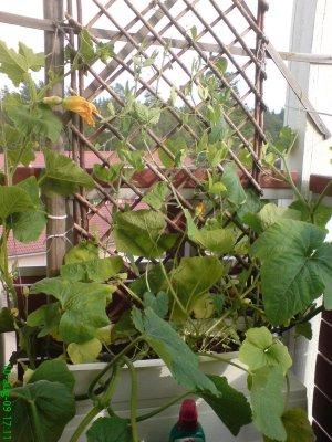 slingerväxter