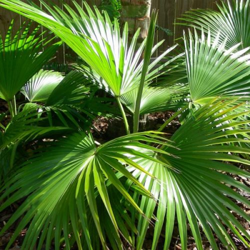 chinese fan palm trees for landscapes element