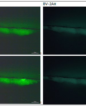 bindmiddel analyse fluofor staining