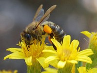 bees-and-wasps-facts-flower-3