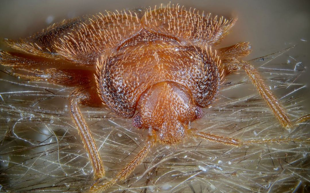 Bed Bugs: What Are They?