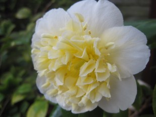 The camelia are brightening the conservatory