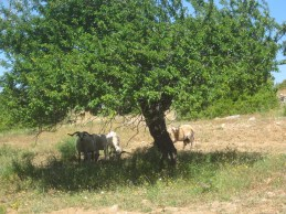Always a goat or two in the shade