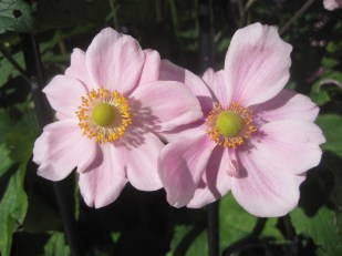 Two shy little pinks
