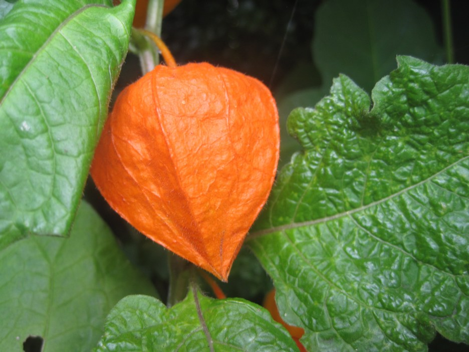 A hint at the changing season- gorgeous Chinese lantern