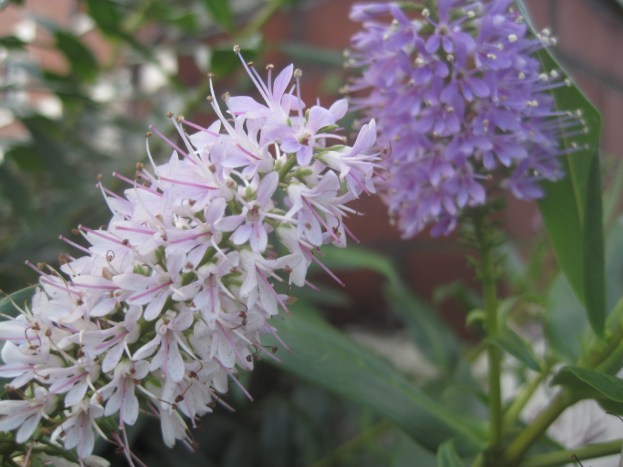 A lilac hebe (I think!)