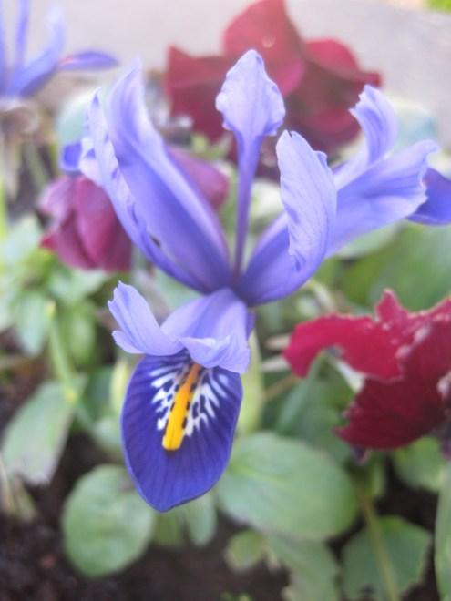 The prettiest iris