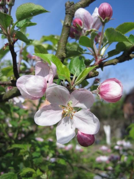 Apple blossom (Migdalowa)