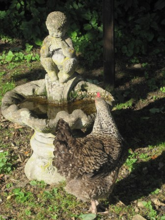 A hen stops to drink at the fountain