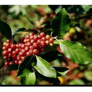 Autumn Olive (Ruby)