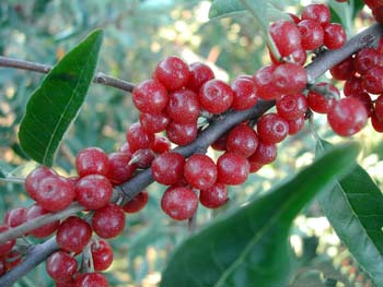 Autumn olive Ruby