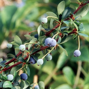 Barberry (Nana)