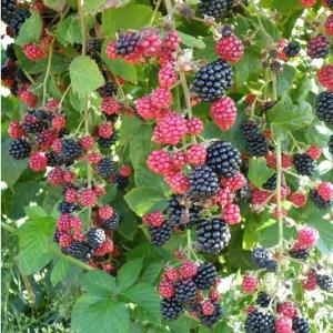 Blackberry- Chester