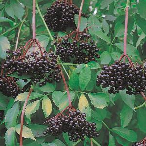 Elderberry (John's)