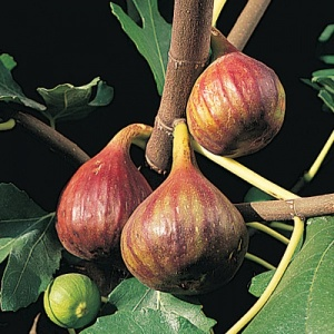 Fig Tree (Vern's Brown Turkey)