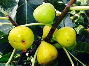 Fig Tree- latarulla Italian Honey Fig