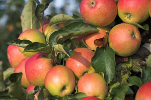 apple tree honeycrisp