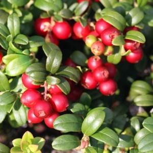 Lingonberry- Balsgard