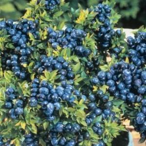 Northland Blueberry