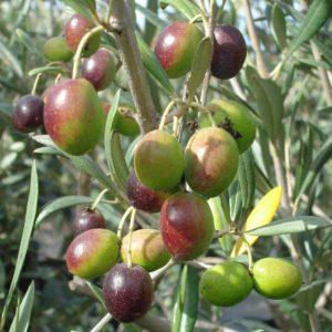 Olive- Nocellara del Belice