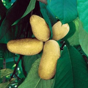 Pawpaw-Mango
