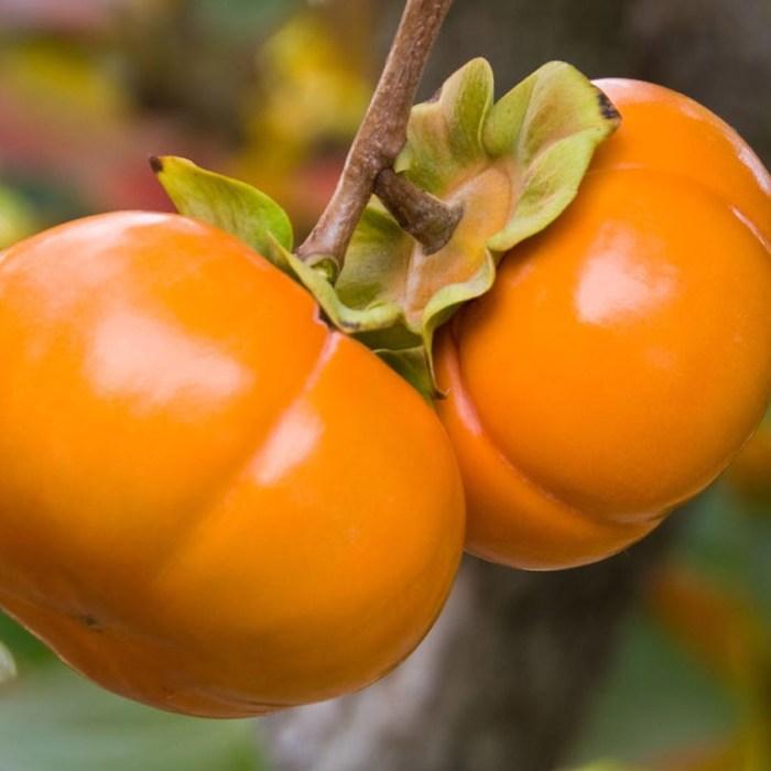 Asian Persimmon