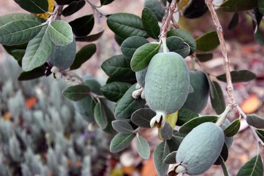 Pineapple Guava Coolidge Restoring Eden