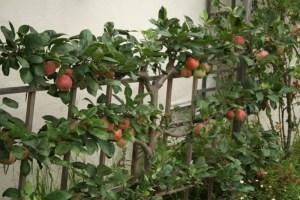 espaliered-apple-tree