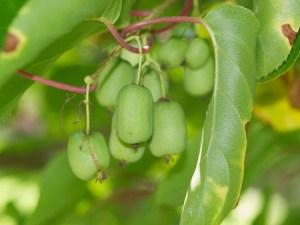 kiwi (cordifolia)