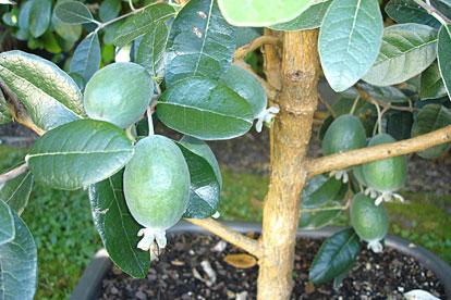 Pineapple Guava Fruit Tree