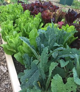 Romain Leaf lettuce and Kale