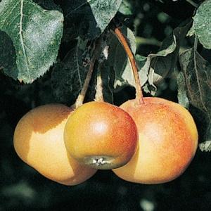 baby Shipova Mt. Ash fruit and tree
