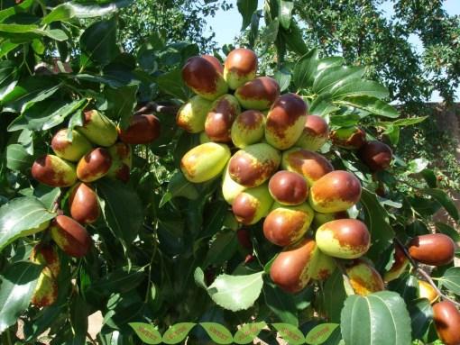 jujubi Lang fruit and Tree