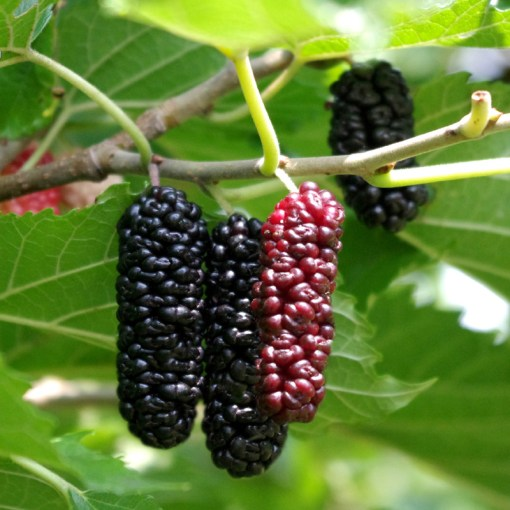 Mulberry Contorted Mulberry