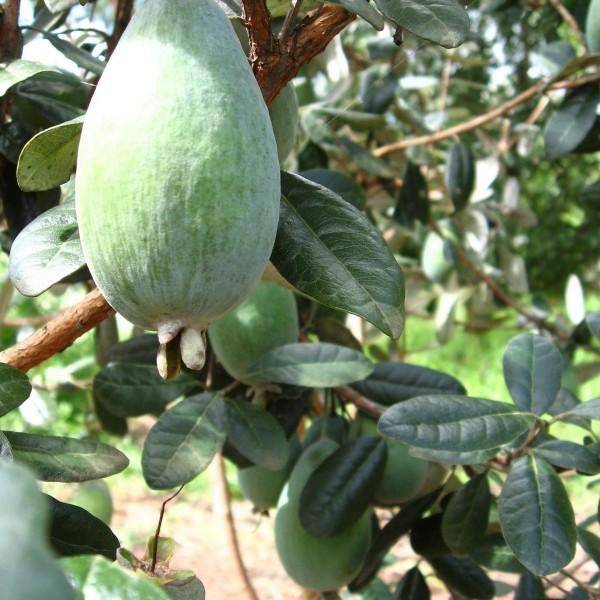 Pineapple Guava Apollo