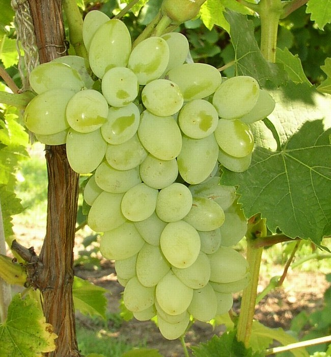 Grape vine Remaily seedless