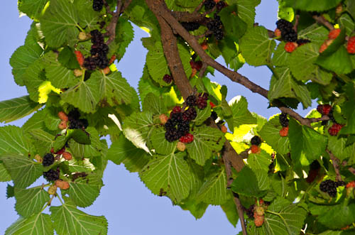 persian mulberry